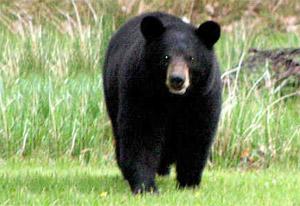 Louisiana Black Bear_1437603391133.jpg