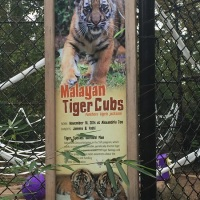 Tiger-cubs-exhibit_1447718382054.JPG