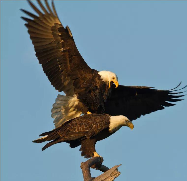 Wildlife Agents 1 Or 2 Bald Eagles Killed In Louisiana